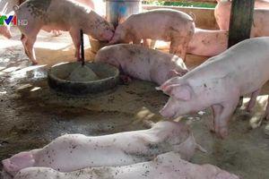 Bùng phát dịch tả lợn châu Phi tại Campuchia