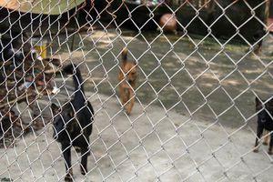 Nhiều địa phương 'bất lực' với chó thả rông