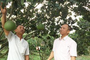 Lâm Đồng: Nuôi heo trong vườn bưởi thu 1 tỷ đồng/năm