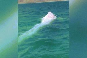 Phát hiện cá voi bạch tạng siêu hiếm ngoài khơi Mexico
