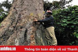 Khoanh nuôi, phát triển rừng gỗ lớn để bảo vệ loài lim xanh quý hiếm tại huyện Như Thanh