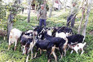 Gia Lai: Nông dân Chư Pưh tích cực chuyển đổi cây trồng, vật nuôi