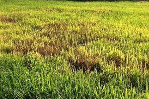 Rầy nâu tấn công hàng trăm ha lúa nước ở huyện Ea Súp