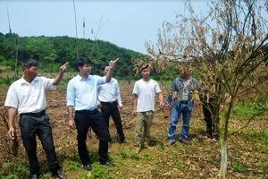 Không có việc phá hoại vườn cam của người dân ở Hàm Yên