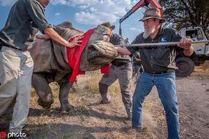Xót xa tê giác run bần bật khi bị con người cắt sừng