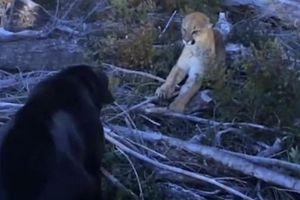 Chạm trán với loài mèo lớn nhất ở Bắc Mỹ, chó Labrador có bảo vệ được chủ của mình?
