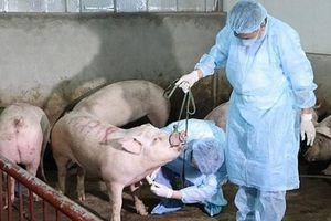 Hà Nội: Kịp thời phát hiện, khoanh vùng và xử lý dứt điểm các ổ dịch tả lợn Châu Phi