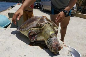 Phát hiệt một cá thể rùa biển bị giết, chặt hai vây tại Vịnh Vĩnh Hy
