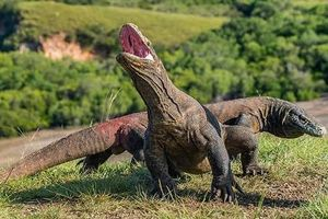 Indonesia nỗ lực bảo vệ thằn lằn khổng lồ Komodo trước nguy cơ tuyệt chủng