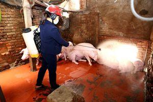 Dịch tả lợn Châu Phi bị 'chặn' phía ngoài nếu được ngăn từ xa