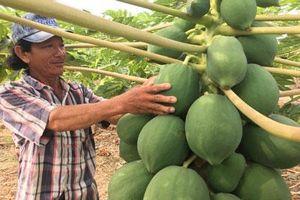 Khánh Hòa: Những cây đu đủ 'mang nặng đẻ đau' ra chi chít trái 'khổng lồ'
