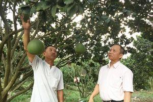 Lập nghiệp thành công từ trồng bưởi da xanh 'xen canh' heo rừng, thu 1,5 tỷ/năm