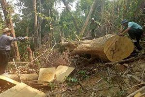Đắk Lắk: 13 cây gỗ lớn bị lâm tặc đốn hạ