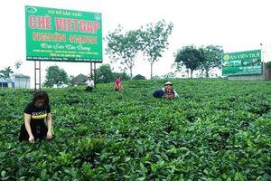Du lịch vùng đặc sản chè Thái Nguyên