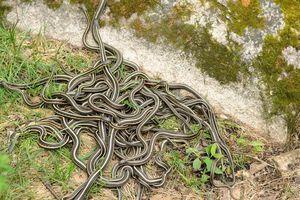 Hàng trăm con rắn 'tụ' thành búi, dọa dân chết khiếp