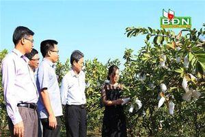 Đắk Nông: Trồng ổi Trân Châu Đài Loan, 1 ngày thu 1-2 tạ trái, lái khuân sạch