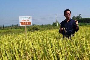 Quảng Ngãi: Cánh đồng mẫu lớn trong sản xuất lúa cho hiệu quả cao