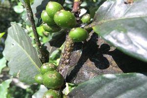 Rệp hại cà phê mùa nắng