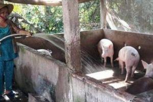 Long An dốc toàn lực bảo vệ đàn heo khỏi dịch tả lợn châu Phi