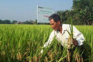 Nông dân xứ Quảng 'ngỡ ngàng' với giống lúa siêu năng suất 81 tạ/ha