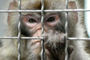 Khoa học Trung Quốc gây tranh cãi khi bổ sung gene người vào não khỉ