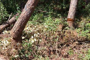 Khởi tố vụ chặt hạ trái phép gỗ hương quý hiếm tại Gia Lai
