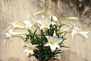 Lỡ đánh rơi viên thuốc vào lọ hoa loa kèn, sáng ra mẹ trẻ sướng rơn khi thấy thành quả