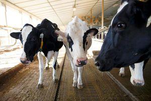 Đàn bò ở Anh đang được trải nghiệm 5G trước cả thế giới