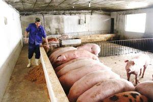 Hà Nội: Chim cút bị dịch bệnh được hỗ trợ 3.000 đồng/con