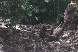 Chôn lấp lợn dịch sai quy định tại Hải Dương