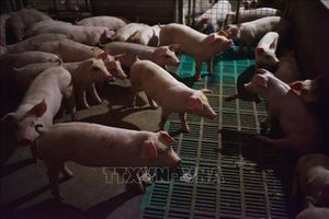 Thành phố Hạ Long (Quảng Ninh) công bố dịch tả lợn châu Phi
