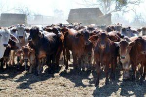 Ông Phạm Nhật Vũ từng chi 13,6 triệu USD mua trang trại bò ở Úc