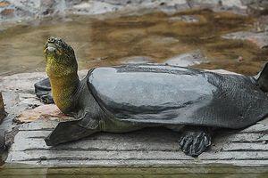 Rùa mai mềm chết ở TQ, thế giới chỉ còn 3 con cùng loài cụ rùa hồ Gươm