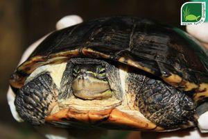 Hồng Kông bàn giao một cá thể rùa quý hiếm cho Việt Nam