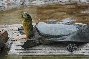Họ hàng cụ rùa Hoàn Kiếm qua đời:Thế giới chỉ còn 3