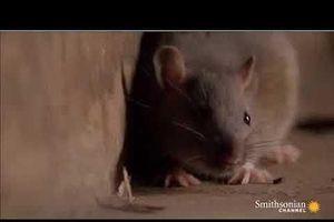 Rắn phì châu Phi đoạt mạng chuột bằng nhát cắn tử thần
