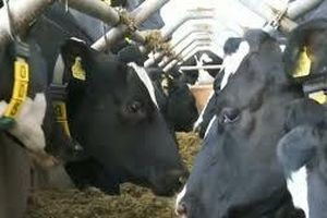 Bò sữa Anh được tiếp cận công nghệ 5G