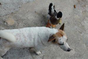 Tình bạn kỳ lạ của chó và vịt trên đỉnh Thiên Cấm Sơn