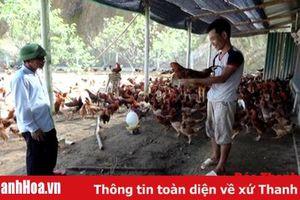 Huyện Như Xuân thu hút được 4 doanh nghiệp liên kết trong lĩnh vực chăn nuôi