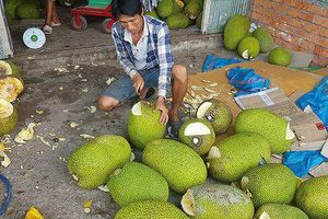 Người dân Bình Phước đổ xô trồng mít Thái vì lãi 'khủng'