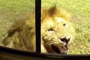 Liều mình vượt rào sở thú, người đàn ông bị sư tử cắn nát tay