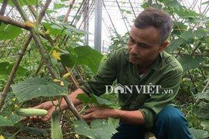 Hòa Bình: Trồng hơn nửa ha dưa chuột, hơn 30 ngày có trái, lái khuân hết