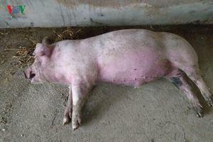 Xuất hiện ổ dịch tả lợn châu Phi đầu tiên ở Cao Bằng