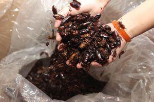 Người Trung Quốc nuôi gián làm món ăn đặc sản và thuốc chữa bệnh