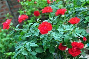 Loạt vườn hồng cổ 'hái ra tiền' ở Việt Nam
