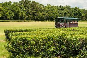 Khám phá trang trại trà thương mại duy nhất ở Mỹ