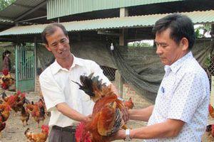 Đà Nẵng: Bỏ lái xe về nuôi gà thả vườn, 'đút túi' gần 150 triệu đồng/năm