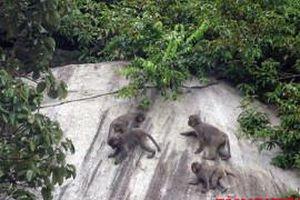 Bầy khỉ thản nhiên vui đùa giữa không gian xanh Cù Lao Chàm
