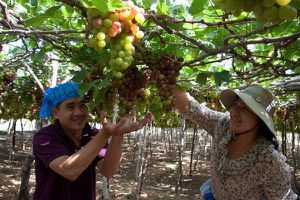 Quảng bá du lịch Ninh Thuận từ 'Lễ hội Nho và Vang 2019'