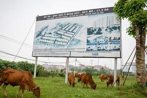 Trâu bò thong dong gặm cỏ trong dự án bỏ hoang 2.000 ha tại Hà Nội
